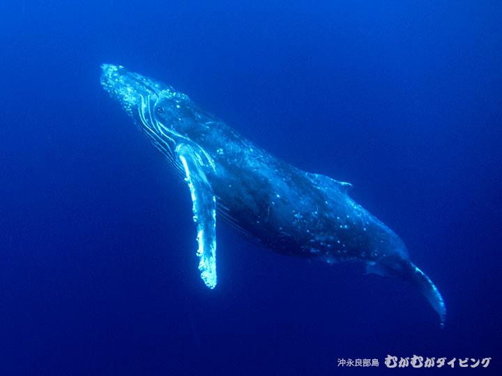 沖永良部島のザトウクジラスイム