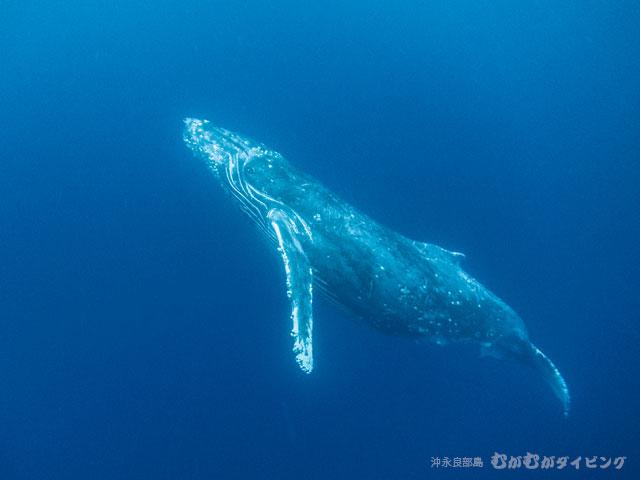 こっちを見ているザトウクジラ